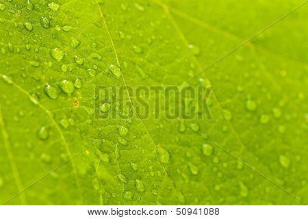 pure rain drops on a green leaf