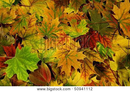 brightly colored autumn leaves as natural background
