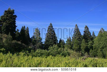 Palomar Mountain Pines