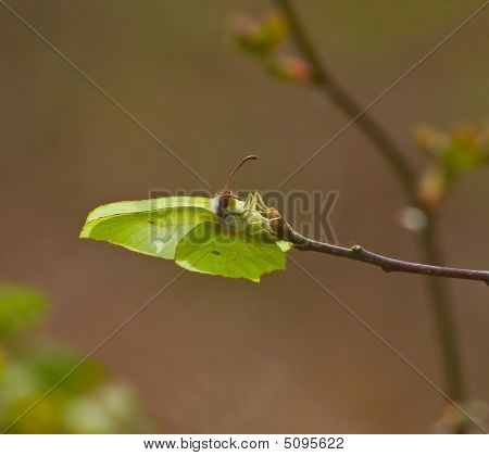 Brimstone Butterfly Laying Eggs