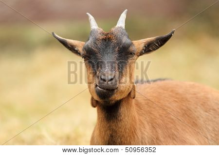 Beautiful Brown Goat Portrait