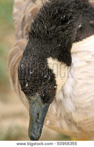 Close Up Of A Canadian Goose Head