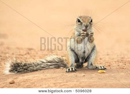 Ground Squirel Feeding