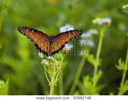 Beautiful Monarch Butterfly On A Blue Mist Flower
