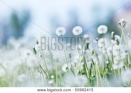 Beautiful white dandelion flowers close-up
