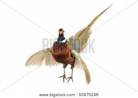 Male Pheasant (Phasianus colchicus) with wings outstretched in strut, isolated on white