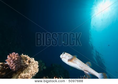 Ocean, Sun And Porcupinefish