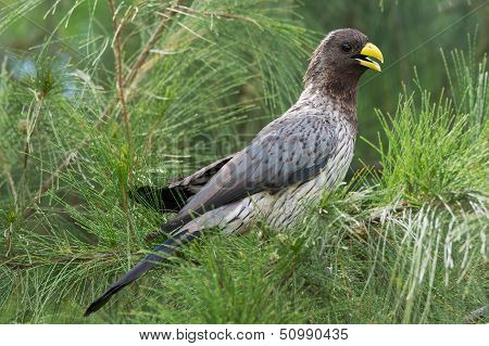 Western Grey Plantain-eater