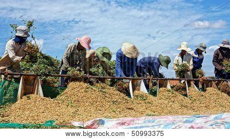 Farmers harvest peanut under blue sky at farmland.