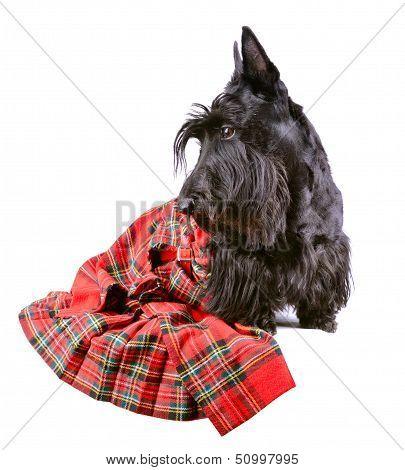 Scotch Terrier In A Red Tartan