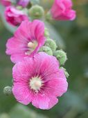 stock photo of clos  - Clos up pink flower in the garden - JPG