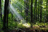 image of penetration  - Sun beams penetrate the deep woods and illuminate the forest floor - JPG