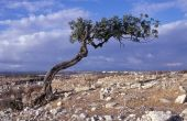 pic of camphor  - Mountain tree in South Cyprus on sunny day - JPG