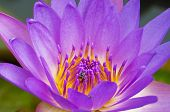 Close Up The Bee On Violet Lotus Flower.