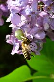 White Crab Spider And Honey Bee - Predator And Pray