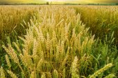 stock photo of dick  - Golden wheat field before the harvest of the autumn harvest - JPG