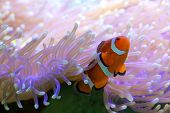 picture of clown fish  - Clown fish hiding in colorful anemone on coral reef - JPG