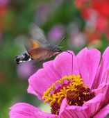image of hawk moth  - hummingbird hawk moth - JPG