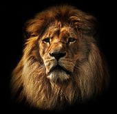 stock photo of furry animal  - Lion portrait on black background - JPG