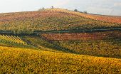 Autumnal view of vineyards with yellow and red leaves on the hills of Langhe in Piedmont, Northern I