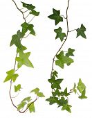 Ivy isolated on white background