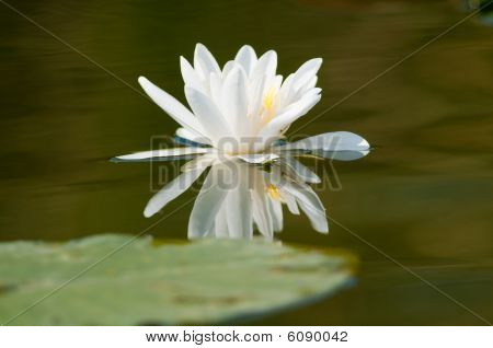 White Waterlily with reflection