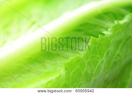 Lettuce texture close up