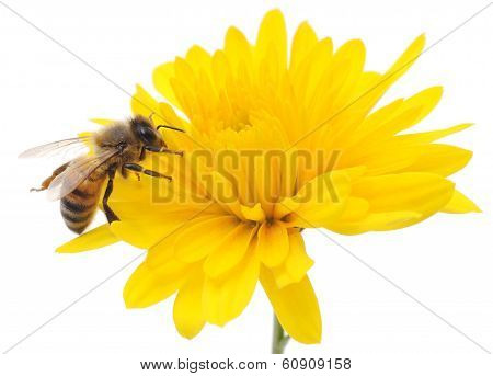 Honeybee And Yellow Flower