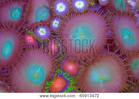 Mixed Zoanthid And Palythoa