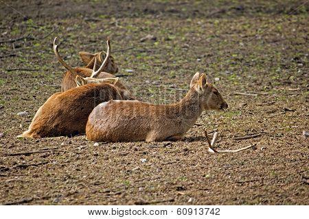 Hog Deers