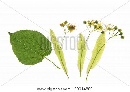 Flowers Of The Lime Tree (Tilia)