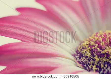 Macro Of A Pink Summer Daisy