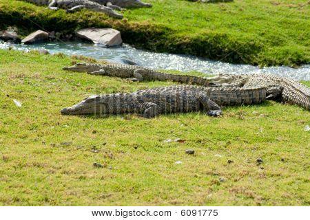Aligators On Grass