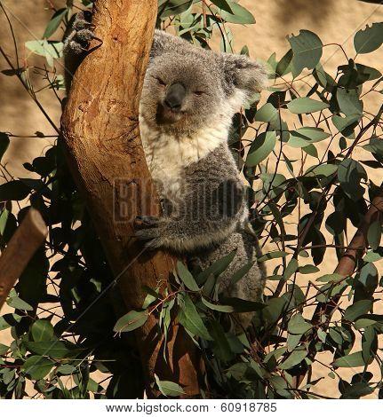 Koala Climbing In Eucalyptus