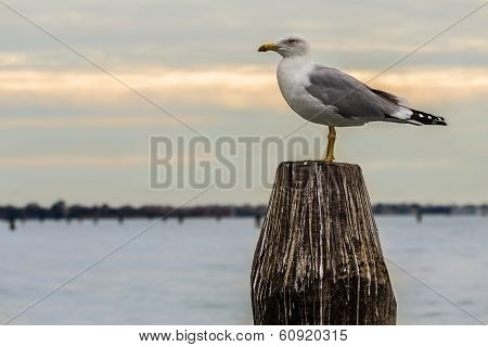 Seagull Resting