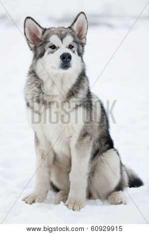 Alaskan Malamute Looking Into The Distance