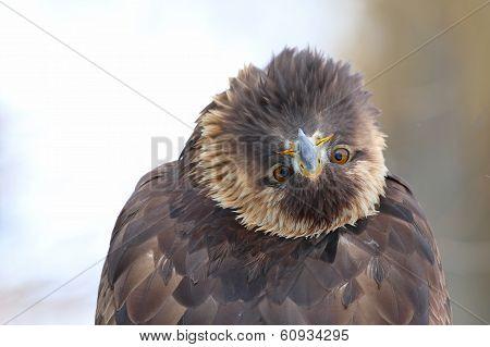 Cheeky Golden Eagle