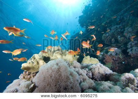 A School Of Lyretail Anthias (pseudanthias Squamipinnis) Over A Coral Reef