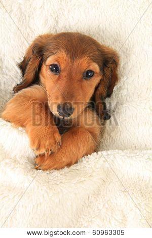 Longhair dachshund puppy on a white blanket.