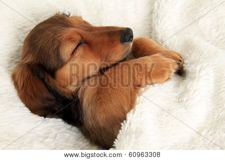 Longhair dachshund puppy sleeping in her bed.
