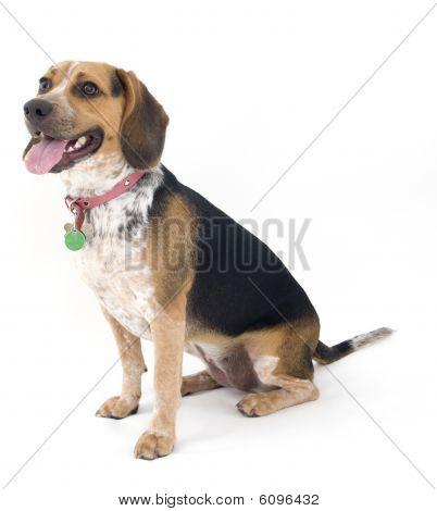 Beagle Sitting Down