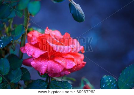 Beautiful wet rose flower covered in water drops. Macro closeup, shallow DOF.