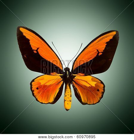 Butterfly with open wings in top view