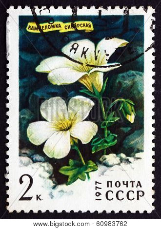 Postage Stamp Russia 1977 Siberian Saxifrage, Siberian Flower