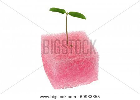 Hydroponic Tomato sprout in a pink sponge