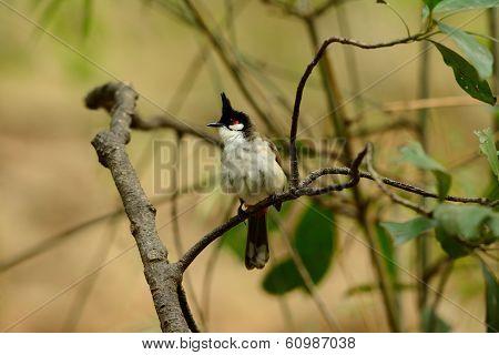 Red-whiskered Bulbul (pycnonotus Jocosus)