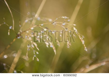 Eearly Morning Dew On A Straw In The Field