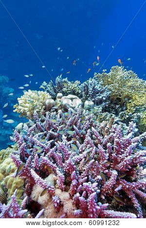 coral reef with hard coral violet acropora at the bottom of tropical sea on blue water background