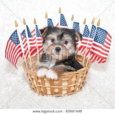 American Puppy
