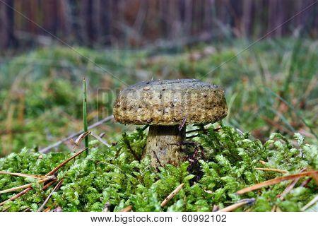 Mushroom Lactarius Turpis